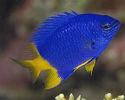 Marine Fish : Damsel 4 for $50.00 Gosnells Gosnells Area Preview