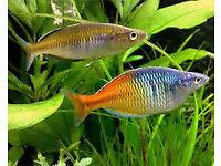 10 Rainbow fish