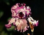 Bearded Iris Lot