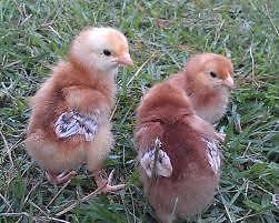 Rustling Oak Poultry Jimboomba Logan Area Preview