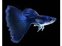 Guppies | Fish for Sale - Gumtree