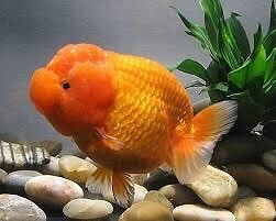 Looking for free goldfish and guppies Chatswood Willoughby Area Preview