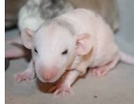 Dumbo Rats Rex and Double Rex (Hairless)