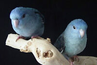 Looking for Blue Lineolated Parakeets Pairs