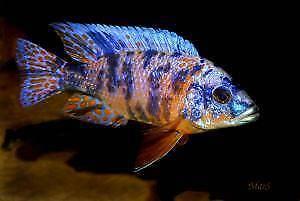 African Cichlids 20 different fish species , size 5cm + $5