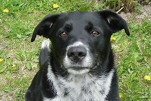Adult Male  - Border Collie-Black Labrador Retriever