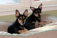 Misty and Mr. Ed - sweet tiny pair! * Min Pin Rescue Group*