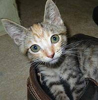 Matilda - KITTEN KAPERS RESCUE Birkdale Redland Area Preview