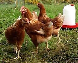 Brown free range backyard laying hens/chickens for sale
