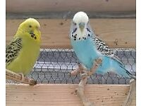 Stunning English Budgies with lovely colours