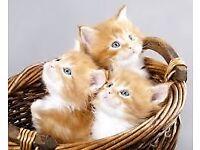 3 kittens ginger