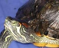 2 red ear sliders turtles