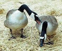 pair of giant canada geese