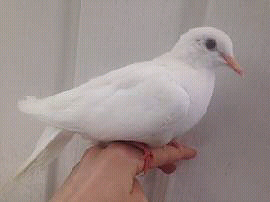 8 month old male lutino ringneck dove