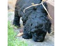 Spoodle puppy 8 weeks old