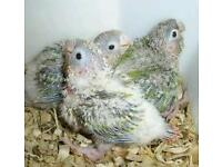 Pinapple conures babies for sale