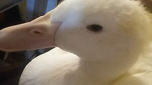 Friendly Peking Duck Looking For  Home