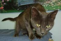 "Young Female Cat - Russian Blue-Chartreux: ""M/C -  47 Carol"""