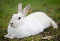 New Zealand White rabbit for sale