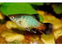 10 mixed platy fish tropical