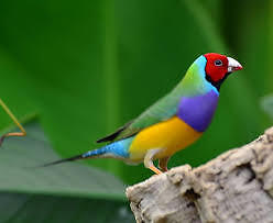 WE WANT to adopt A Young Female Lady Gouldian Finch