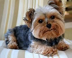 WANTED: DOG SITTER / DOG SITTING