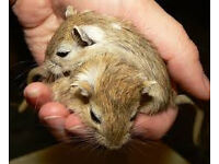 young and baby gerbils