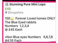 🐰Stunning Mini Lop rabbits