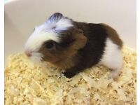 Beautiful Baby Guinea Pigs For Sale