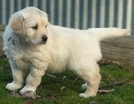 Purebred Golden Retriever Puppies for Sale – 3 Males Brighton Brighton Area Preview