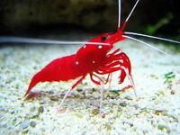 SPÉCIAL - Fire Shrimp Crevette pour aquarium eau salee