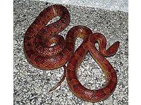 4 1/2 year old corn snake