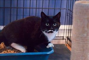 "Young Female Cat - Domestic Short Hair: ""Stash - In Foster"""