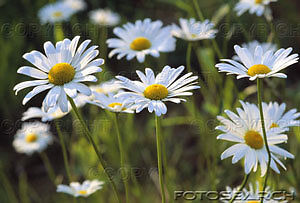 American Daisy Gifts