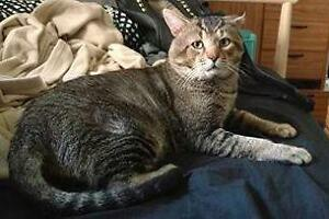 "Adult Male Cat - Domestic Short Hair: ""Ymir"""