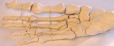 Life-size Human Foot Bone Skeleton Anatomical Model Podiatrist Doctor Office New