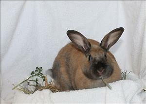 "Adult Female Rabbit - Dutch: ""Jessie"""