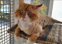 """Adult Male Cat - Domestic Long Hair: """"Herb"""""""