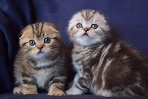 Pure breed Scottish fold kittens for sale