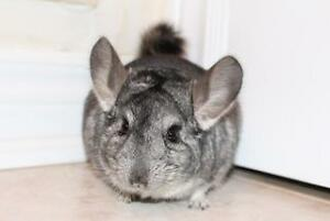 "Adult Male Small & Furry - Chinchilla: ""Alex"""