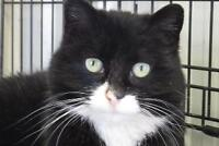 "Adult Female Cat - Domestic Short Hair: ""Patty"""