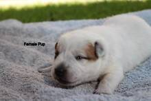 Stumpy Tail Cattle Dog Puppies Albany Albany Area Preview