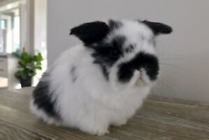 ~ Lovely & Calm Purebred Holland Lop Baby Bunnies 4 Sale ~