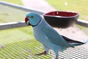 MISSING Blue Indian Ringneck - Called Gordon New Beith Logan Area Preview