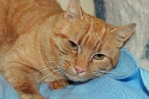 """Adult Male Cat - Domestic Short Hair: """"Tigger- Two"""""""
