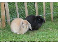 Two beautiful female mini-lop rabbits for sale