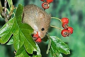 Harvest Mice for Sale