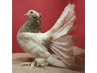 *** Indian Fantail pigeon for sale £25***