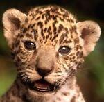 jaguar.e