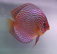 High Quality Stendker Discus Available in Ontario